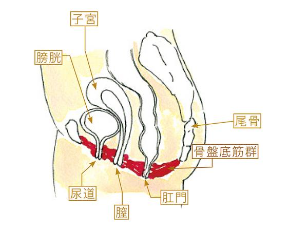 骨盤底筋のイメージ画像